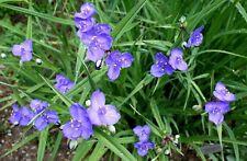 Tradescantia occidentalis - Western Spiderwort - 30 Semi Freschi