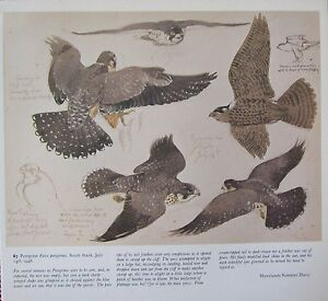 b3b15f1eff4ec Image is loading BEAUTIFUL-VINTAGE-BIRD-PRINT-PEREGRINE-FALCON-IN-FLIGHT-