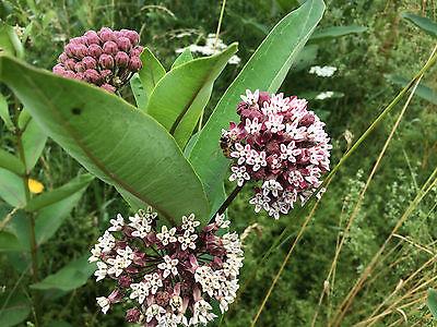 10 common Milkweed bare rootstock for butterflies