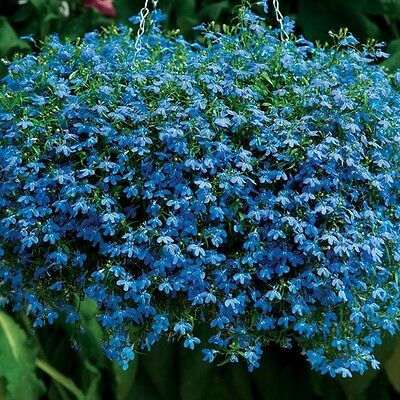 200 BLUE SAPPHIRE LOBELIA Erinus Flower Seeds *Comb S/H