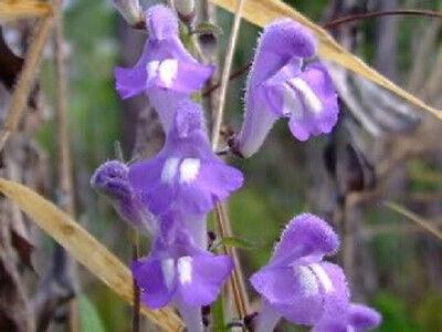 100 Downy Hoary SKULLCAP Scutellaria Incana Seeds +Gift