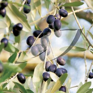 olive-OLIVE-TREE-fruit-olea-europaea-15-SEEDS-groco-US-USA