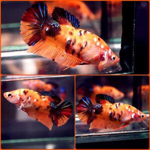Live Betta Fish GIANT 2 Inches Body ORANGE TIGER GALAXY KOI Halfmoon Plakat A798