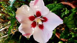 Hibiskus Weiß Lila Blüten Garten Eibisch Malve Winterhart 20