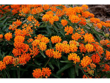 Tall Orange Hardy Butterfly Weed- 15 Seeds! COMB. S/H!  HUMMINGBIRD PLANT!