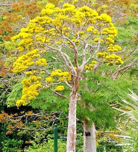 Delonix Floribunda Flamboyant Poinciana Tree Very Rare Bonsai Plant Seed 5 Seeds Ebay