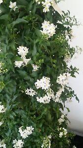 Caricamento Dellu0027immagine In Corso Pianta Di Solanum Jasminoides Pianta  Rampicante Gelsomino Notturno