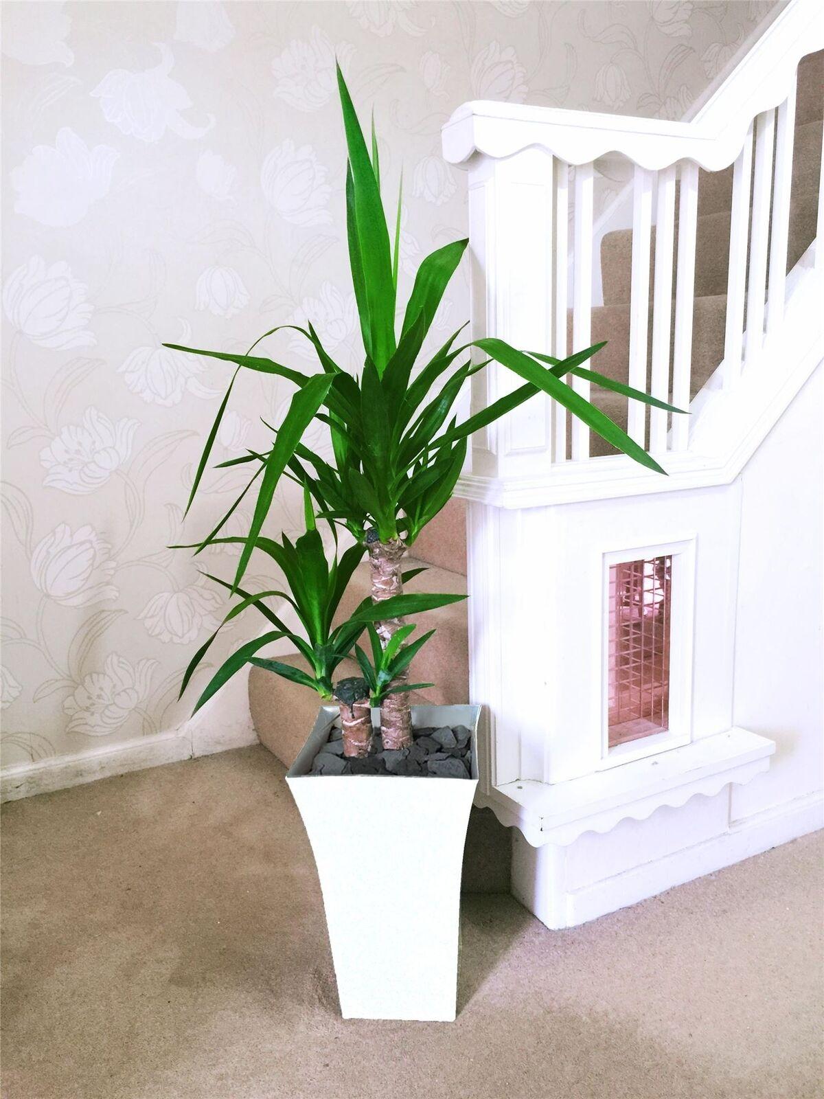 Casa Grande Doble débiles yuca suelo planta @Gloss blancoo Milano Olla 90cm De Alto
