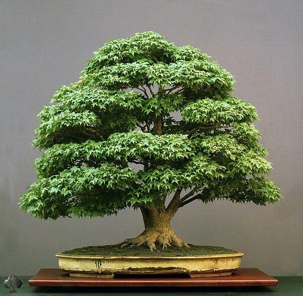 Green Japanese Maple Pre Bonsai Tree For Sale Online Ebay