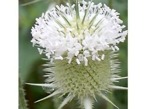 50-WHITE-TEASEL-FLOWER-SEEDS-PERENNIAL-FRESH-amp-DRIED-ARRANG-DEER-RESISTANT