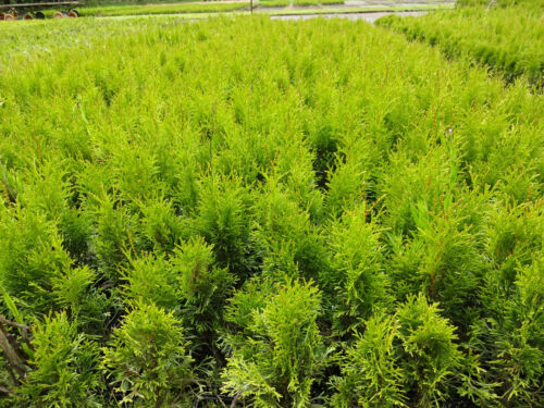 Smaragd 30st 60cm im Topf Thuja occ immergrüne Heckenpflanzen Sale /%