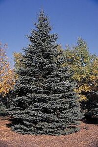 50-Blue-Spruce-Xmas-Trees-Picea-Pungens-Glauca-20-40cm-Lovely-Blue-Pine-Needles