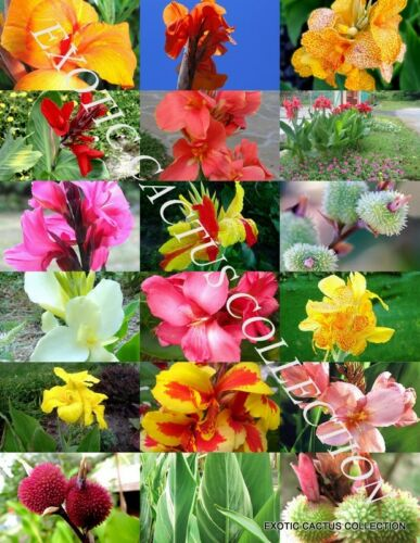 CANNA LILY MIX exotic tropical flowering pond ginger lilies bulbs seed 30 SEEDS