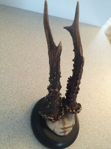 REAL-ROE-DEER-ANTLERS-SKULL-HORN-TAXIDERMY