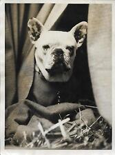 PHOTO CENTRAL PRESS + LONDON + French Bulldog Show at Tattersall's + CHIEN