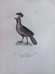 COLIN-de-la-Californie-acquaforte-1830-Ornithologie-Oiseaux-Centurie-zoologique