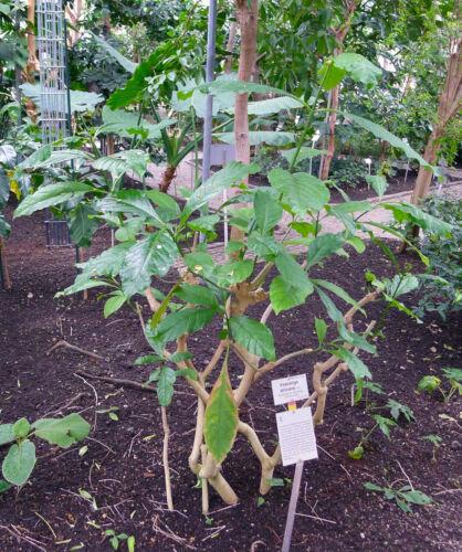 Medicinal plant 100 Seeds of Voacanga africana Voacanga tree