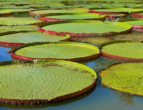 Victoria Amazonica 10 Seeds Victoria water lily From Thai Giant Water Lily
