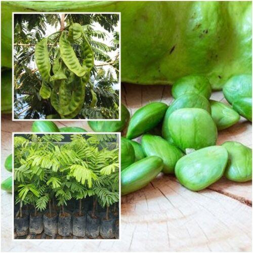 Bitter Bean Tree Plant Twisted Cluster Bean Stink Bean Parkia Speciosa Tall 18/'/'