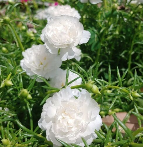 5 Moss Rose Double White Perennial Portulaca Cuttings Easy to Root Great Bloom