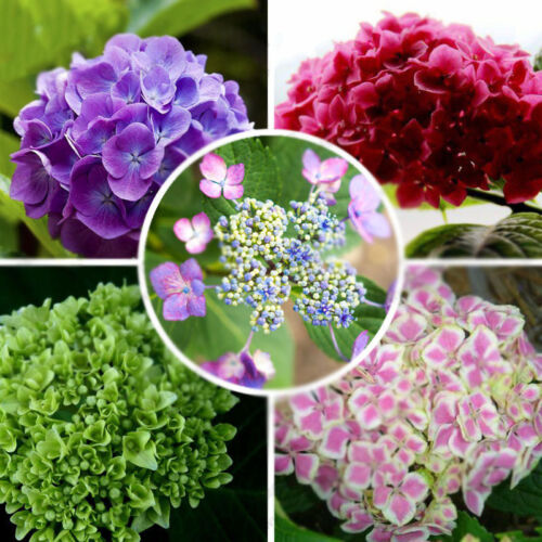 100pcs Samen Mixed Colors Kletterhortensie Hydrangea Flower Seeds Anomala