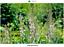 Lisimaquia blanca Lysimachia ephemerum Saatgut Graines 50 semillas