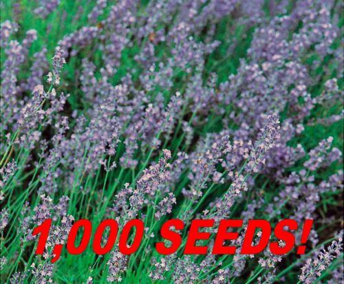 Fines herbes lavande Vera Graines 1,000 frais graines en vrac