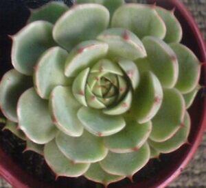 ECHEVERIA-039-BEN-BADIS-039-or-DERENBERGII-x-PURPUSORUM-Succulent-Plant-Cactus