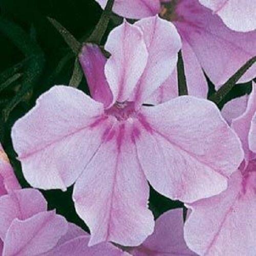 Lobelia Riviera Lilac-d/'environ 3000 graines-Plante de literie-annuelles