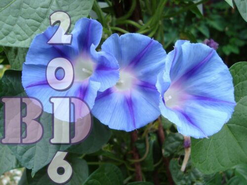 IPOMOEA Purpurea-Morning glory-circa 75 semi-annuale 1g ORIGINALE PACK /_ 119