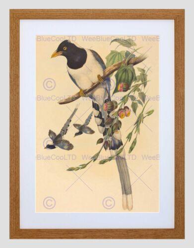 ANIMAL GOULD RICHTER BRITISH MAGPIE BLACK FRAMED ART PRINT PICTURE B12X5237