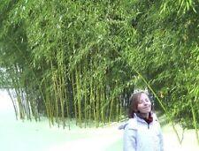 Winterharter chines. Wasserbambus - wächst auch in den Trockenzonen des Gartens