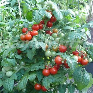 10 Samen Principe Borghese Tomate – traditionelle, italienische Sorte