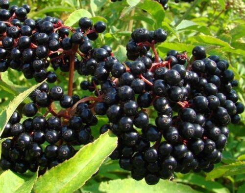 FRUITING BLACK BEARING ELDERBERRY UNROOTED CUTTINGS SAMBUCUS TREE 4 *