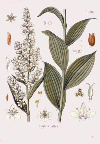 Botanical Herb Medicinal Plants Veratrum Album 89 Vintage Art Print//Poster