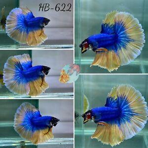 (HB-622) Blue Scale Golden Angel Halfmoon- Live Halfmoon Betta Fish High Quality