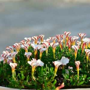 Oxalis-versicolor-Blumensamen-100-Stueck-weltweit-seltene-fuer-den-N4N7-hei-B-I5T5