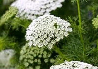 200 BISHOPS FLOWER Ammi Majus False Queen Annes Lace Seeds *Comb S/H