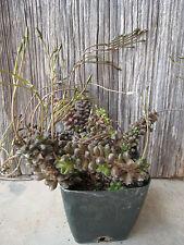 Anacampseros Filamentosa Unusual South Africa Bloom Succulent Plant Cactus Rare