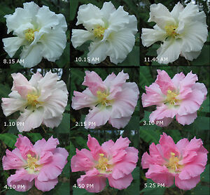 Confederate-Rose-Hibiscus-mutabilis-Cotton-Rosemallow-Color-Changing-Blooms
