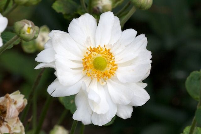 10 Anemone Bulbs -ANEMONE GIANT Mount Everest (DOUBLE) -Very Hardy~Ready to Ship