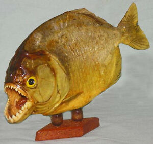 Details about Real Dried Piranha Fish Mount Taxidermy  Specimen~9