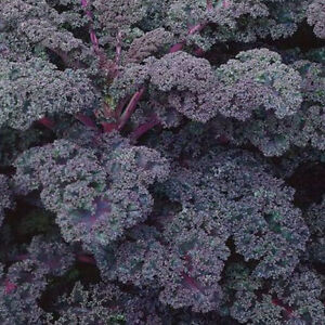 VEGETABLE-KALE-BORECOLE-SCARLET-2200-FINEST-SEEDS
