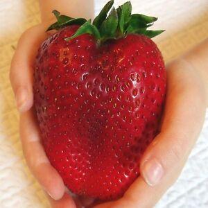 RIESENERDBEEREN-Die-groesste-Erdbeere-der-Welt-034-Giant-034-ca-200-Samen