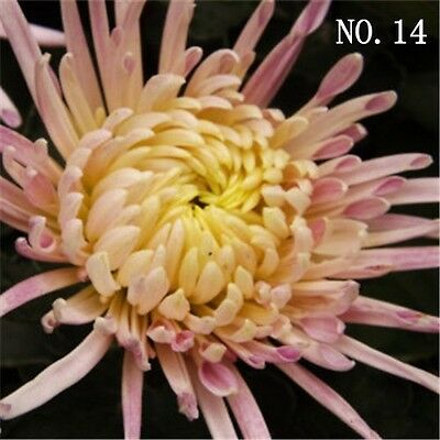 Chrysanthemum seed  24 kinds balcony decoration 30 seeds NO.14