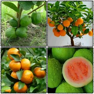Bonsai Fruit Seeds Combo Pack: Mandarin orange, Bonsai Apple Guava combo seeds