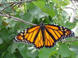 100-SWAN-PLANT-MILKWEED-SEEDS-Food-plant-of-Monarch-Butterfly-2-Metres