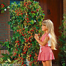 30 Seeds Red Climbing Strawberry Fruit Plant Seeds Home Garden