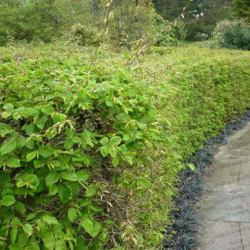 Carpinus 100 x HORNBEAM Hedging Plants Shrubs Trees for Windy Areas e093