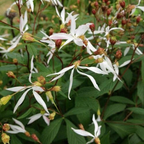 Tre foglio dirtiponili-gillenia trifoliata